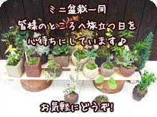 ミニ盆栽一同皆様のところへ旅立つ日を楽しみにしています!お気軽にどうぞ!